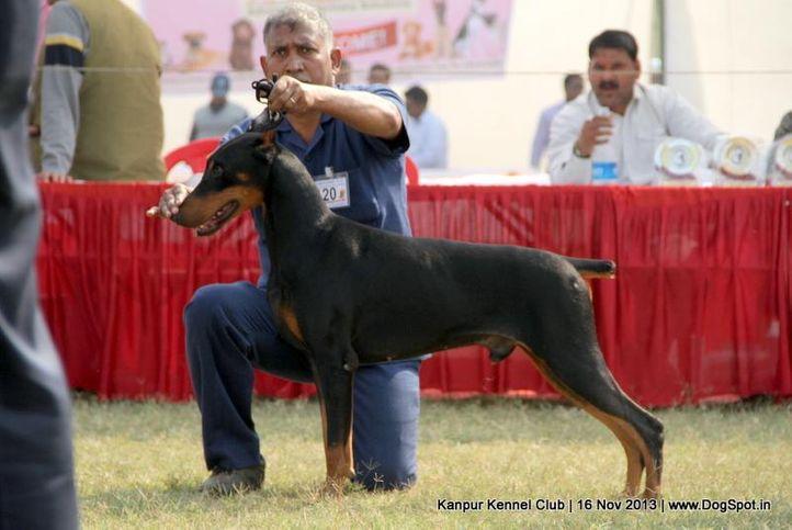 dobermann,ex-120,sw-97,, Kanpur Dog Show 2013, DogSpot.in