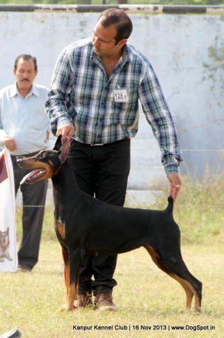 dobermann,ex-128,sw-97,, Kanpur Dog Show 2013, DogSpot.in