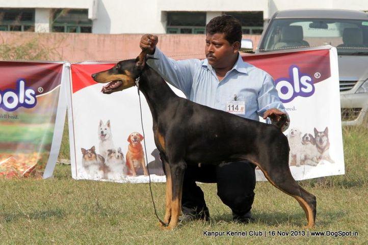 dobermann,ex-114,sw-97,, Kanpur Dog Show 2013, DogSpot.in