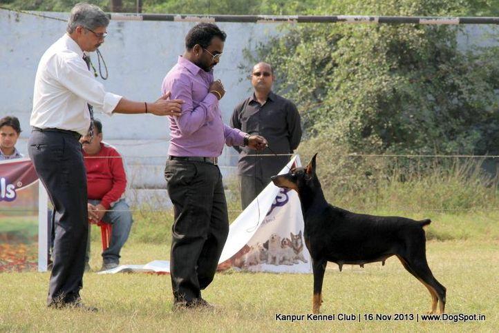 dobermann,ex-130,sw-97,, Kanpur Dog Show 2013, DogSpot.in