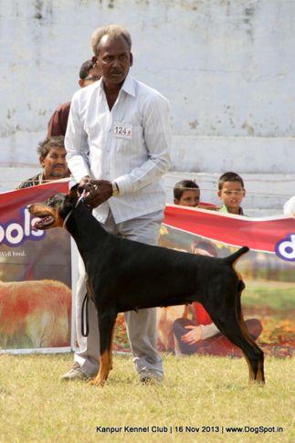 dobermann,ex-124,sw-97,, Kanpur Dog Show 2013, DogSpot.in