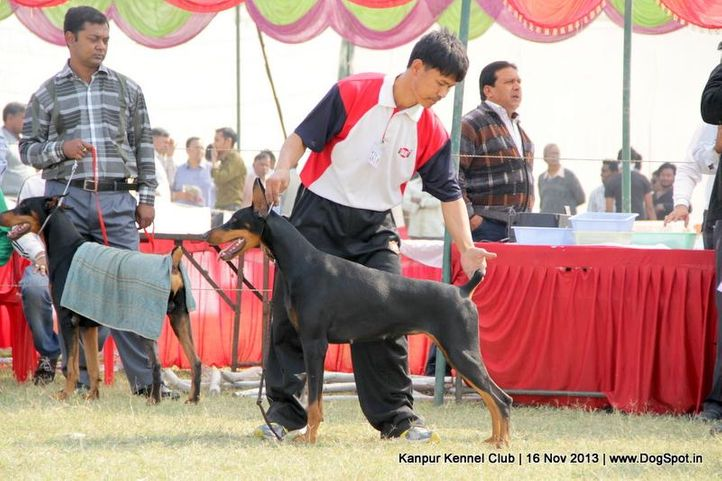 dobermann,ex-121,sw-97,, Kanpur Dog Show 2013, DogSpot.in