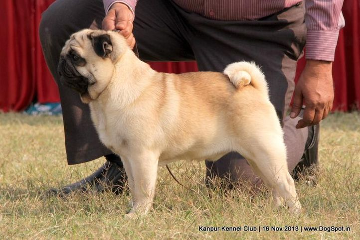 ex-12,pug,sw-97,, Kanpur Dog Show 2013, DogSpot.in