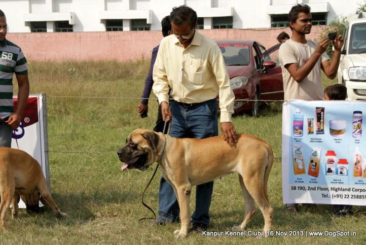 english mastiff,ex-145,sw-97,, Kanpur Dog Show 2013, DogSpot.in