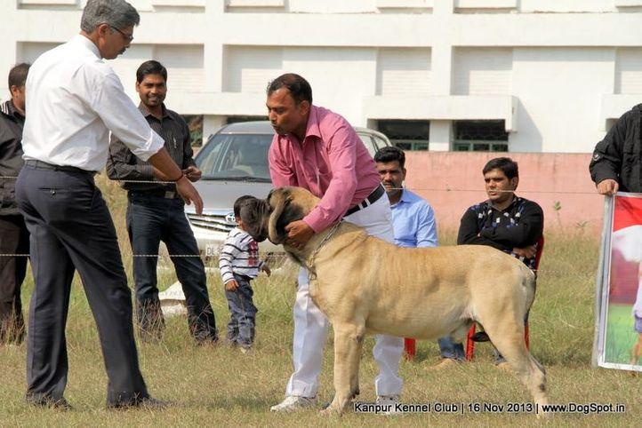 english mastiff,ex-143,sw-97,, Kanpur Dog Show 2013, DogSpot.in