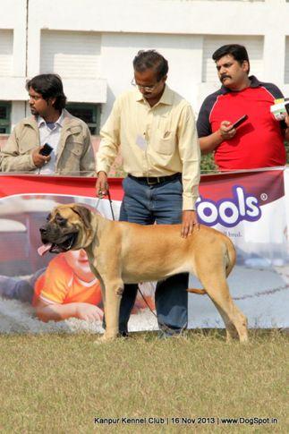 english mastiff,sw-97,, Kanpur Dog Show 2013, DogSpot.in