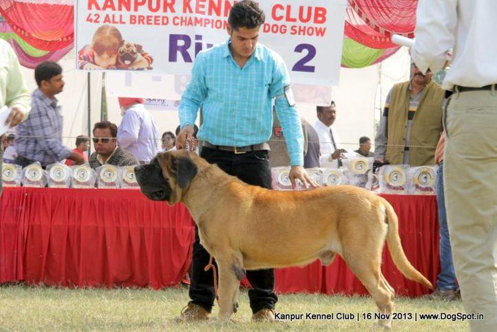 english mastiff,ex-146,sw-97,, Kanpur Dog Show 2013, DogSpot.in
