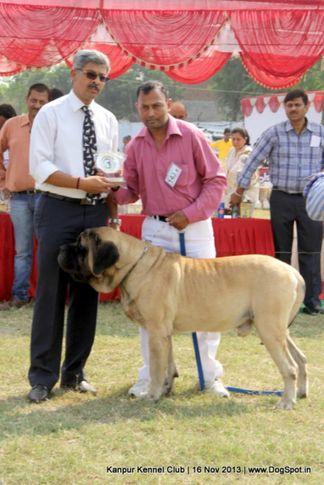 bob,english mastiff,ex-143,sw-97,, Kanpur Dog Show 2013, DogSpot.in