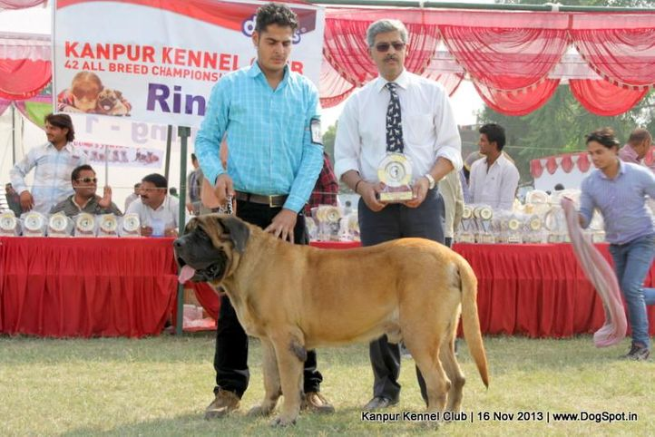 english mastiff,ex-146,rbob,sw-97,, Kanpur Dog Show 2013, DogSpot.in