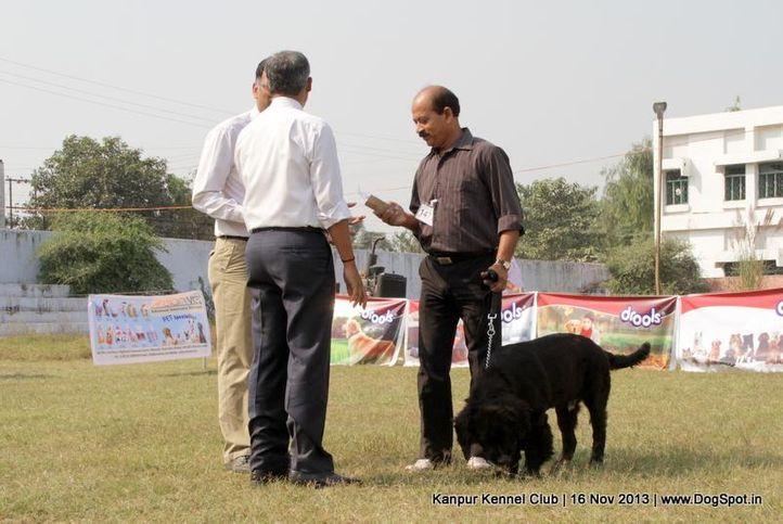 ex-147,newfoundland,sw-97,, Kanpur Dog Show 2013, DogSpot.in