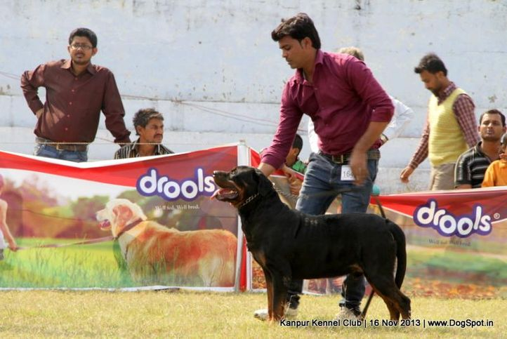 ex-164,rottweiler,sw-97,, Kanpur Dog Show 2013, DogSpot.in