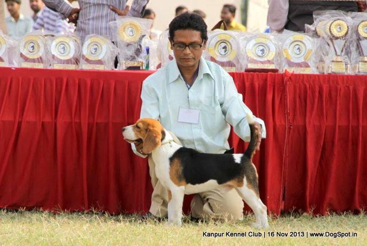 beagle,ex-34,sw-97,, Kanpur Dog Show 2013, DogSpot.in