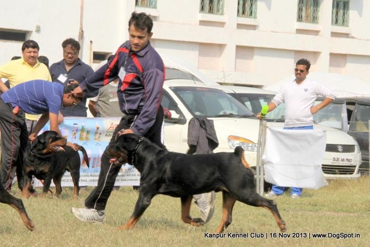 rottweiler,sw-97,, Kanpur Dog Show 2013, DogSpot.in