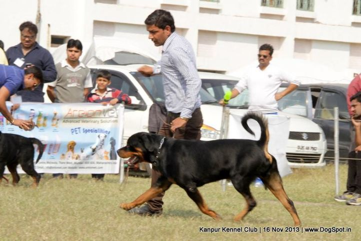 ex-162,rottweiler,sw-97,, Kanpur Dog Show 2013, DogSpot.in