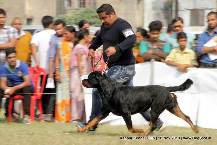 ex-148,rottweiler,sw-97,, Kanpur Dog Show 2013, DogSpot.in