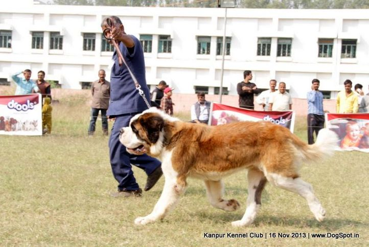 ex-167,st bernard,sw-97,, Kanpur Dog Show 2013, DogSpot.in