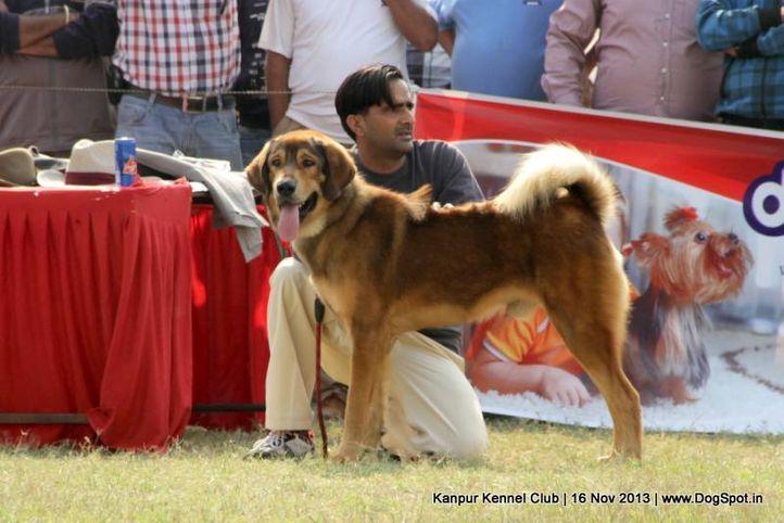 ex-171,sw-97,tibetan mastiff,, Kanpur Dog Show 2013, DogSpot.in