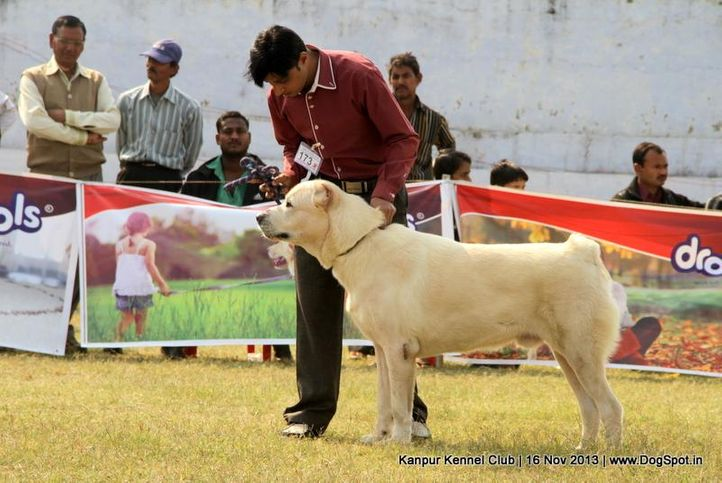 central asian shepherd dog,ex-173,sw-97,, Kanpur Dog Show 2013, DogSpot.in