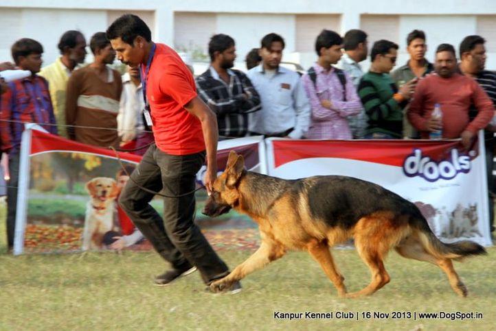 ex-181,german shepherd,sw-97,, Kanpur Dog Show 2013, DogSpot.in