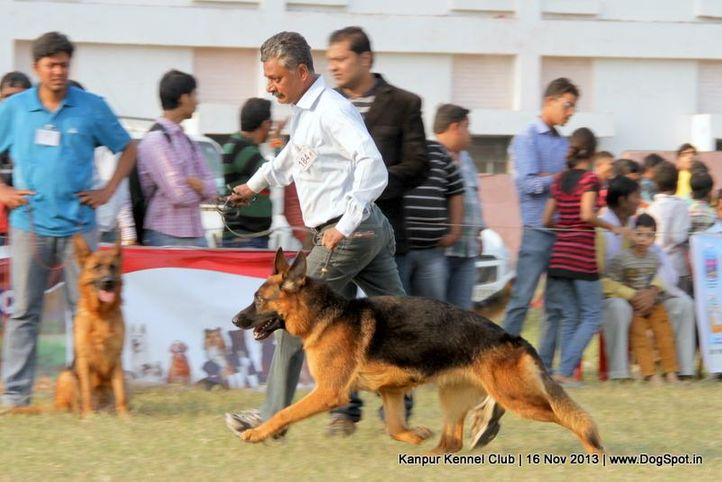 ex-184,german shepherd,sw-97,, Kanpur Dog Show 2013, DogSpot.in
