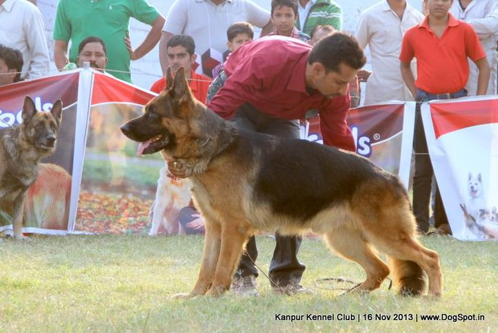 ex-197,german shepherd,sw-97,, Kanpur Dog Show 2013, DogSpot.in