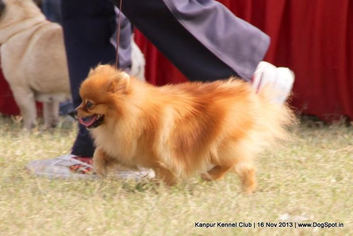 ex-4,pomeranian,sw-97,, Kanpur Dog Show 2013, DogSpot.in