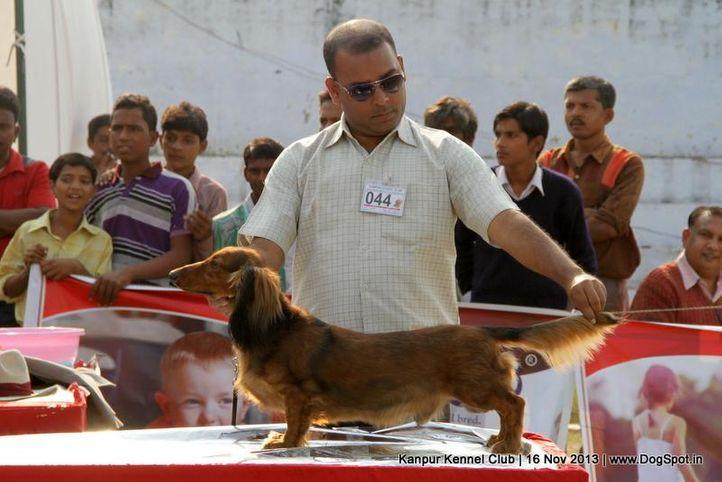 dachshund,ex-44,sw-97,, Kanpur Dog Show 2013, DogSpot.in