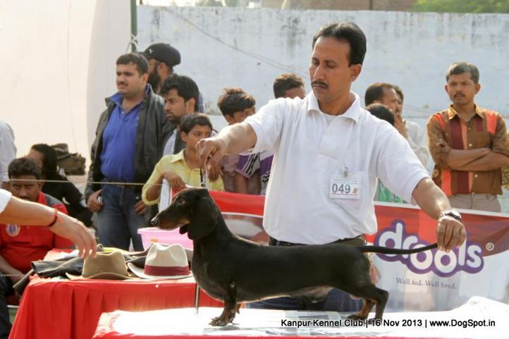 dachshund,ex-49,sw-97,, Kanpur Dog Show 2013, DogSpot.in
