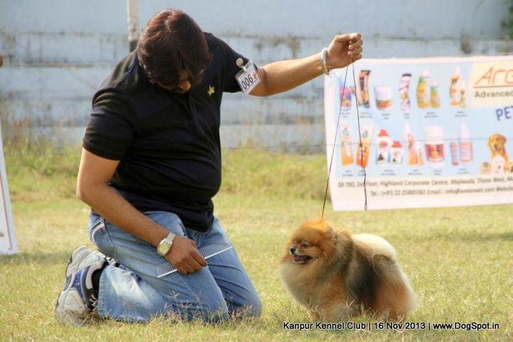 ex-6,pomeranian,sw-97,, Kanpur Dog Show 2013, DogSpot.in