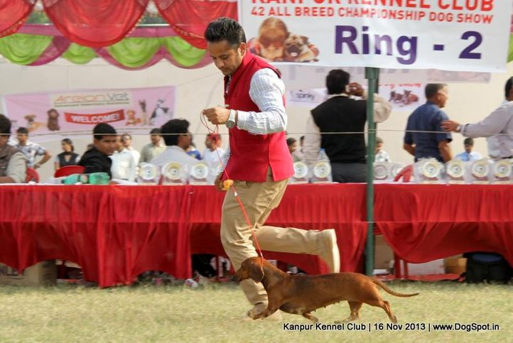 dachshund,ex-51,sw-97,, Kanpur Dog Show 2013, DogSpot.in