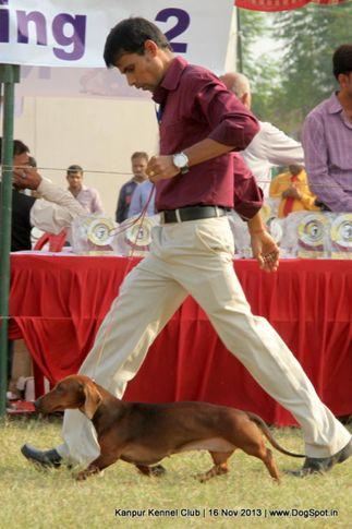 dachshund,ex-48,sw-97,, Kanpur Dog Show 2013, DogSpot.in