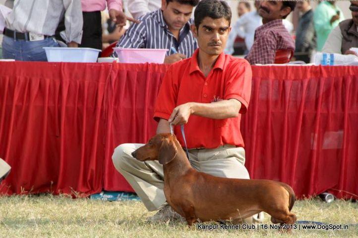 dachshund,ex-45,sw-97,, Kanpur Dog Show 2013, DogSpot.in