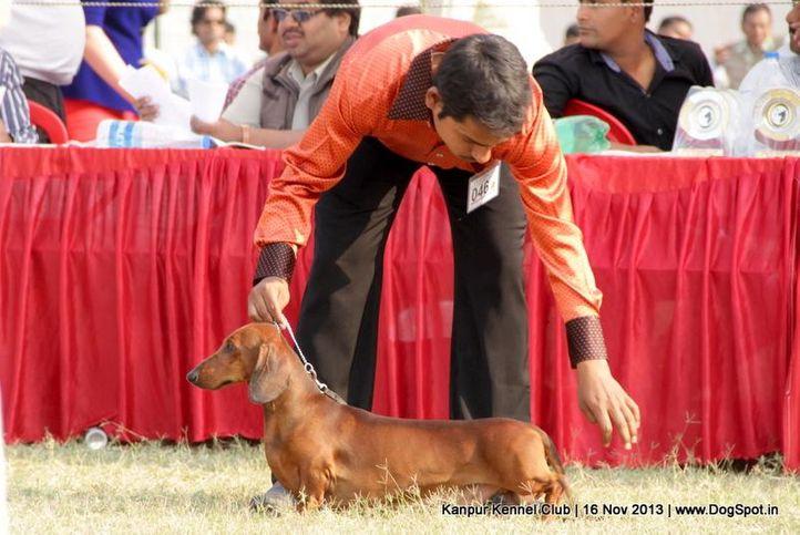 dachshund,ex-46,sw-97,, Kanpur Dog Show 2013, DogSpot.in