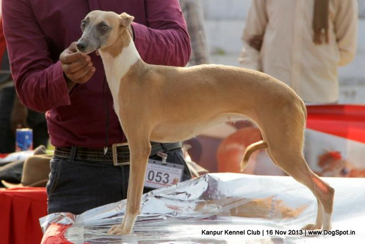 ex-53,sw-97,whippet,, Kanpur Dog Show 2013, DogSpot.in