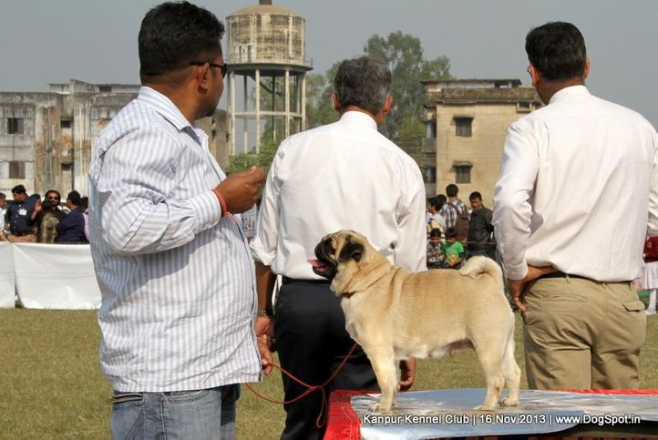 ex-24,pug,sw-97,, Kanpur Dog Show 2013, DogSpot.in