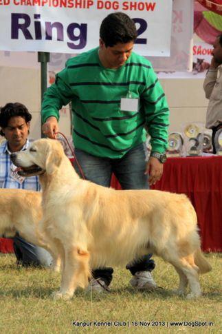 ex-64,labrador retriever,sw-97,, Kanpur Dog Show 2013, DogSpot.in
