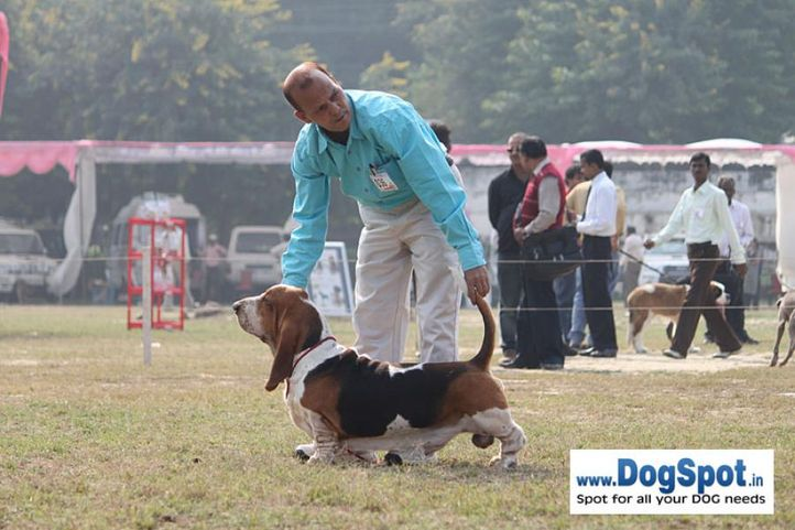 basset,ex-36,sw-7,, LASTELL'S I AM GOING TO GET YOU, Basset Hound, DogSpot.in