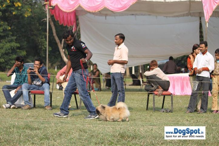 pekingese,sw-7,, Kanpur Dog Show, DogSpot.in