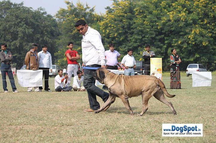 mastiiff,sw-7,, Kanpur Dog Show, DogSpot.in