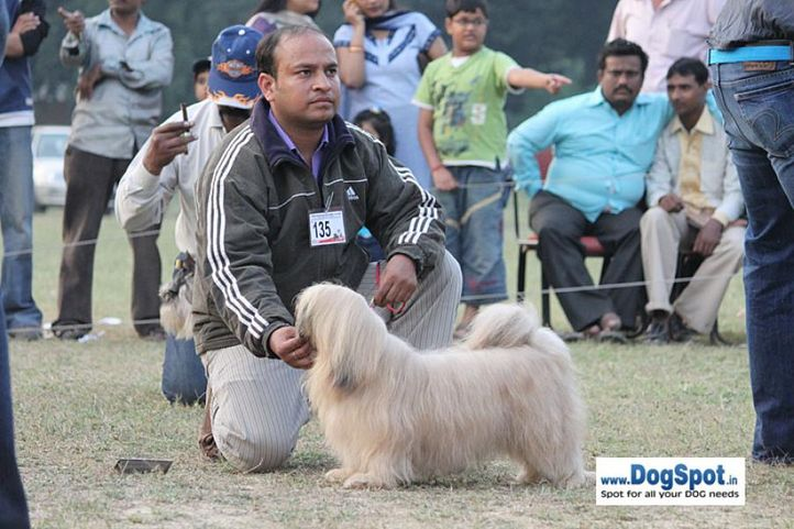 ex-135,lahsaapso,sw-7,, DON, Lhasa Apso, DogSpot.in