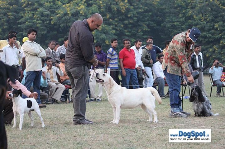 lab,sw-7,, Kanpur Dog Show, DogSpot.in