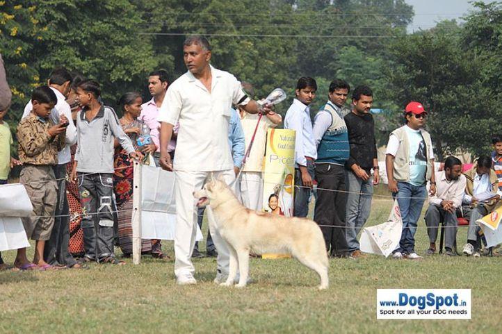 siberian husky,sw-7,, Kanpur Dog Show, DogSpot.in