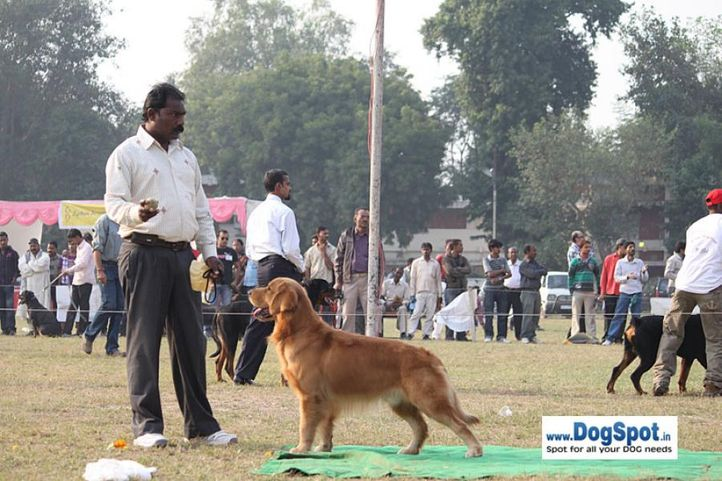 golden,sw-7,, Kanpur Dog Show, DogSpot.in