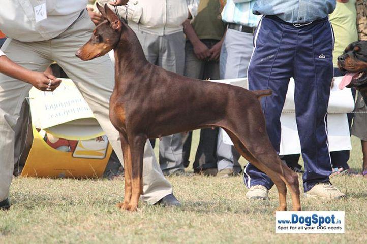 dob,sw-7,, Kanpur Dog Show, DogSpot.in
