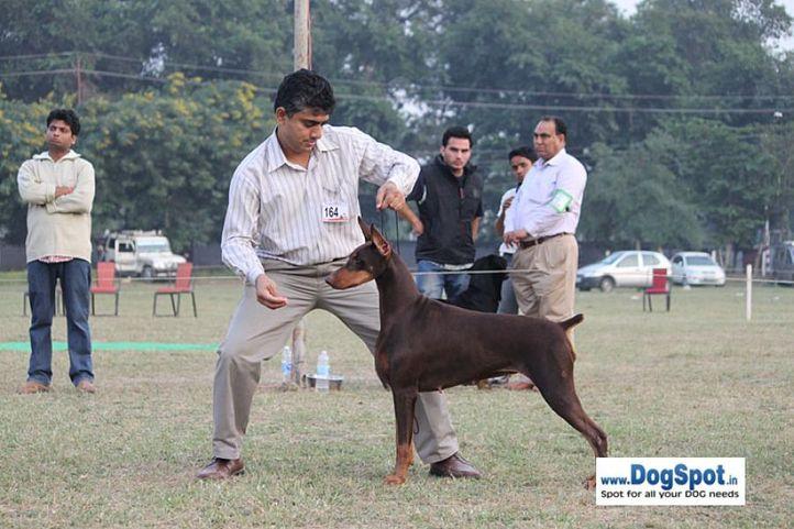 dob,ex-164,sw-7,, ZUCA DE AKI DO SAN, Doberman Pinscher, DogSpot.in