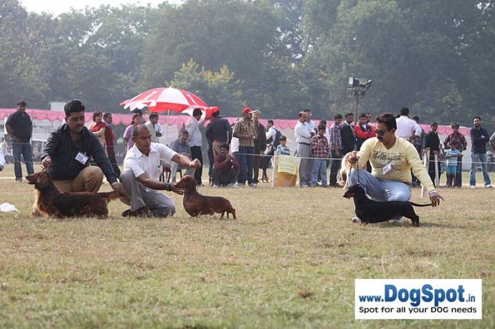 dachshund,ex-59,ex-61,sw-7,, IND GR CH DEYWOO'S EACBALL, Dachshund Standard- Smooth Haired, DogSpot.in
