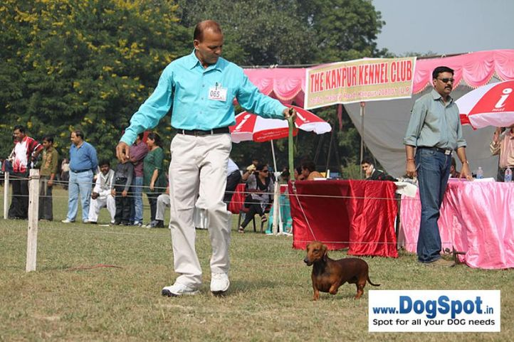 dachshund,ex-65,sw-7,, DEYWOO'S QUEENI OF SWATLANA, Dachshund Standard- Smooth Haired, DogSpot.in