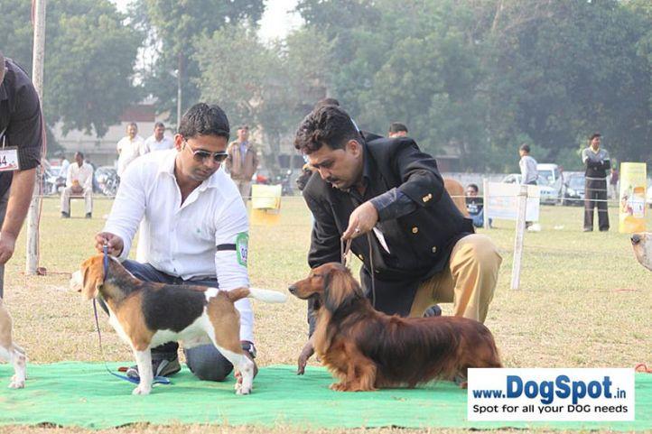 dachshund,ex-59,sw-7,, JONY, Dachshund Standard- Long Haired, DogSpot.in