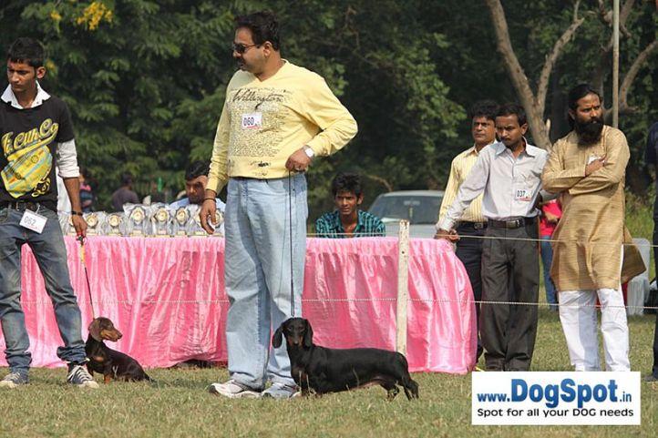 dachshund,ex-60,sw-7,, RHYTHM SOQEUL, Dachshund Miniature- Smooth Haired, DogSpot.in