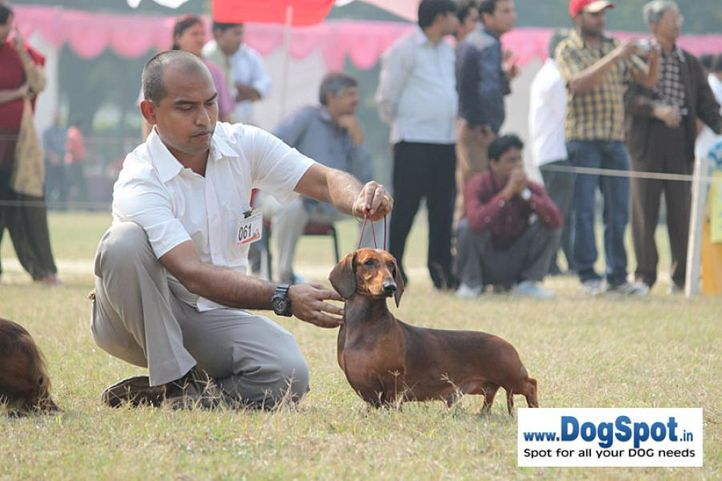 dachshund,ex-61,sw-7,, IND GR CH DEYWOO'S EACBALL, Dachshund Standard- Smooth Haired, DogSpot.in